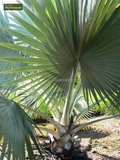 Bismarckia nobilis - totale hoogte 40-50 cm - pot 14 cm_