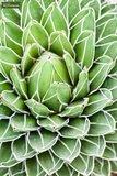Agave victoria reginae - pot 14 x 14 cm_