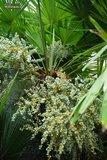 Trachycarpus fortunei - stam 100-120 cm - totale hoogte 200-250 cm - pot Ø 50 cm [pallet]_