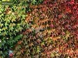 Parthenocissus quinquefolia - pot 18 cm_