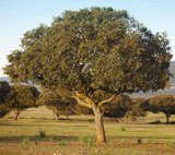 Quercus ilex - totale hoogte 130+ cm - pot Ø 21 cm_