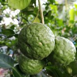 Citrus hystrix - totale hoogte 50+ cm - pot 14 x 14 cm_