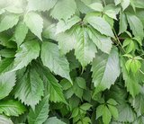 Gynostemma pentaphyllum - pot Ø 19 cm_