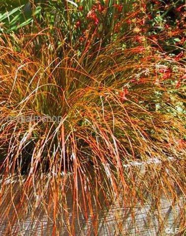 Carex testacea Prairie Fire 1 ltr