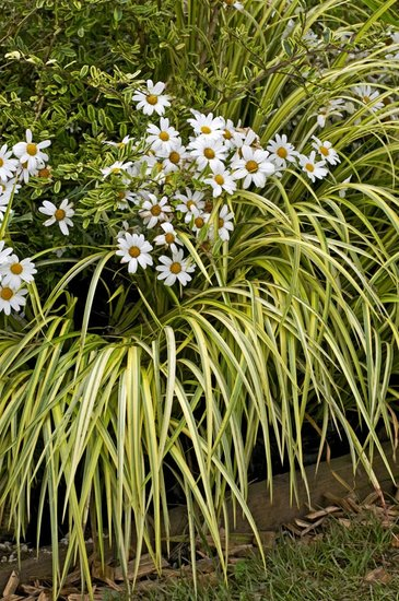 Carex oshimensis Evergold 5 ltr