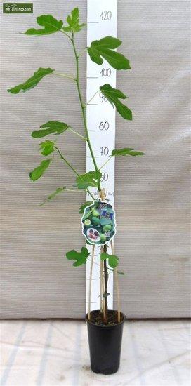 Ficus carica Brown Turkey - 2 Ltr pot