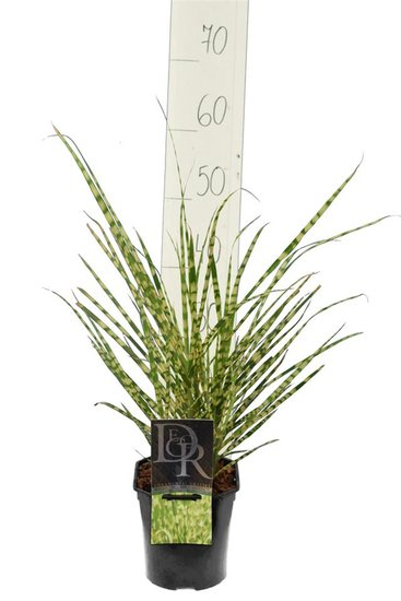 Miscanthus sinensis Gold Breeze 2 ltr