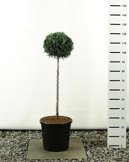 Chamaecyparis lawsoniana Columnaris bol op stam 80 cm