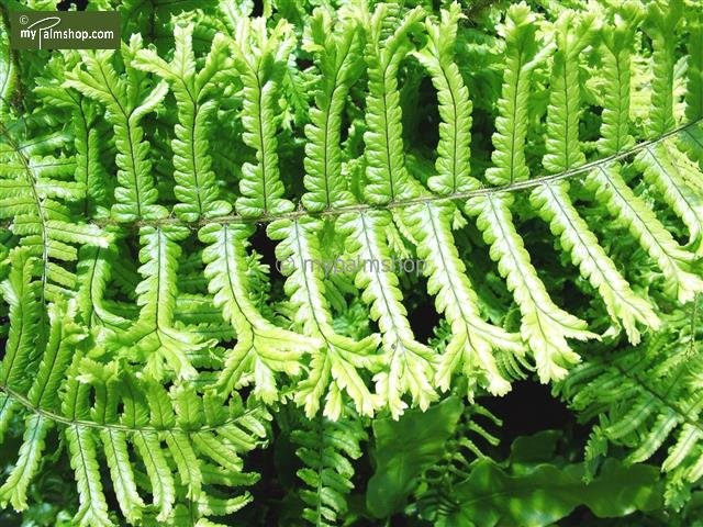 Dryopteris affinis cristata The King 1,7 ltr