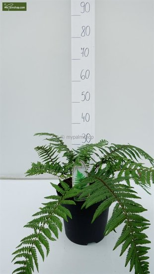 Dryopteris wallichiana 5 Ltr pot