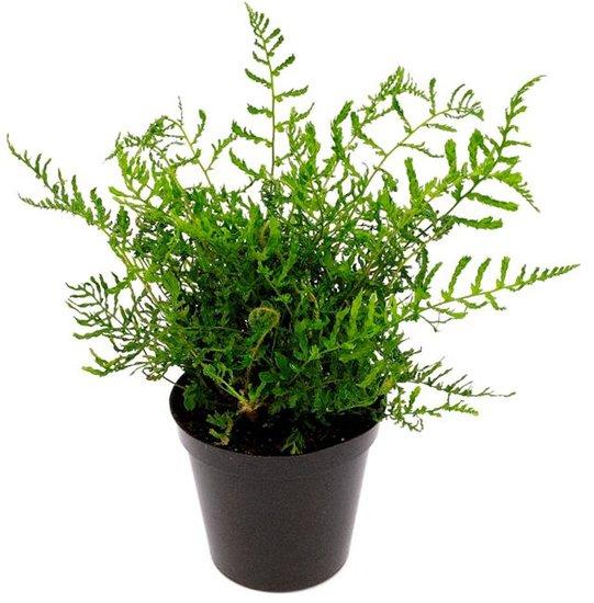 Dryopteris filix-mas Linearis Polydactyla 0,7 Ltr pot