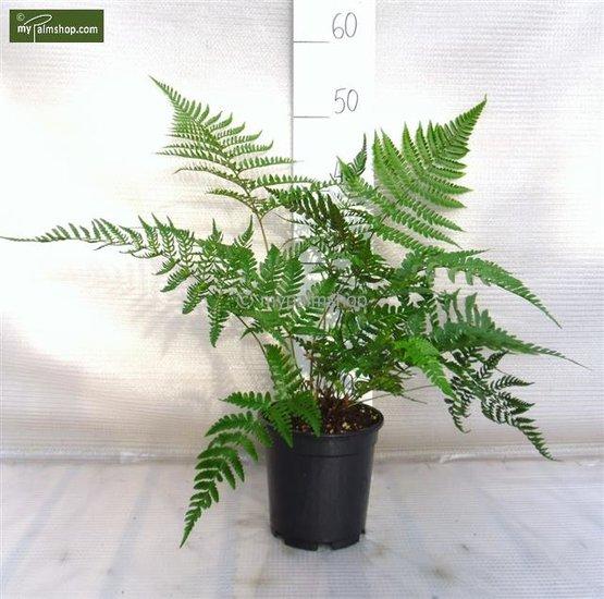 Dryopteris erythrosora var. prolifica 1,7 Ltr pot