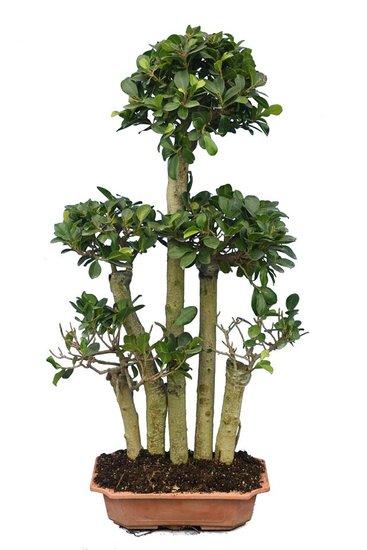 Ficus marcrocarpa Compacta Ginseng Multitrunk