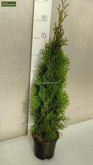 Thuja occidentalis Smaragd (POTPLANT) - 2 Ltr pot - 70-90 cm