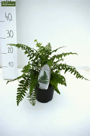 Polystichum Setiferum 1.7 ltr