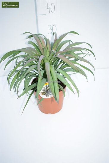 Yucca aloifolia Purpurea totale hoogte 30-40 cm