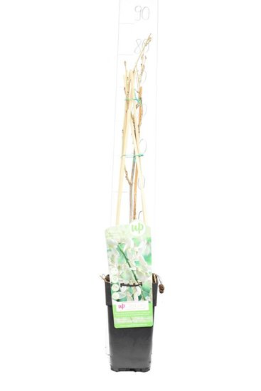 Wisteria floribunda Longissima Alba 2 ltr