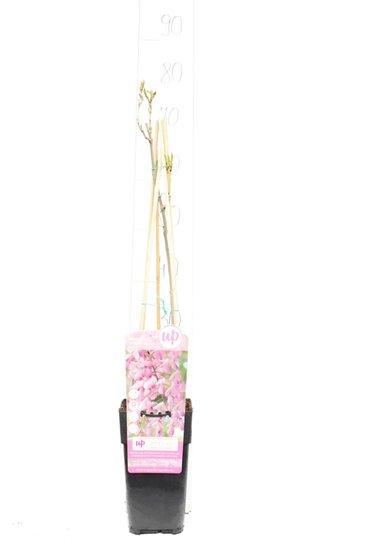 Wisteria floribunda Rosea 2 ltr