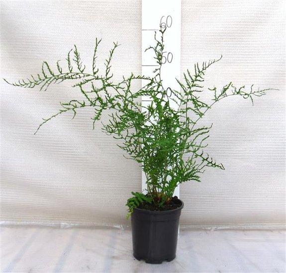 Dryopteris filix-mas Linearis Polydactyla 1.7 ltr
