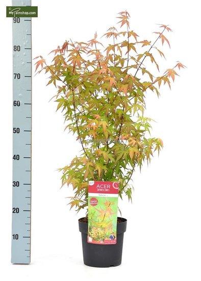 Acer Palmatum Redwine 3 ltr