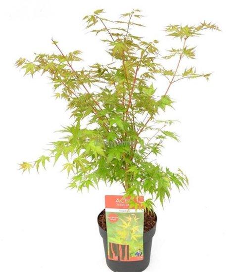 Acer palmatum Sangokaku 3 ltr