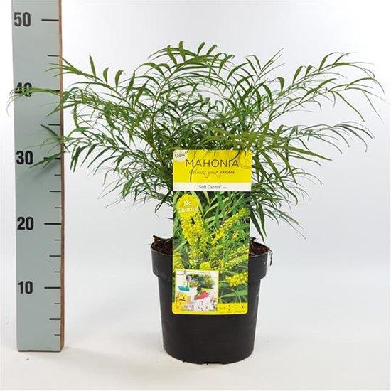 Mahonia eurybracteata Soft Caress 3 ltr