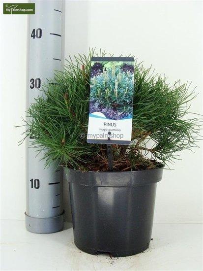 Pinus mugo var. pumilio 3 ltr