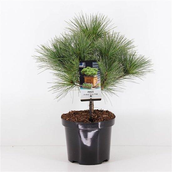 Pinus strobus Radiata Blue Shag 3 ltr