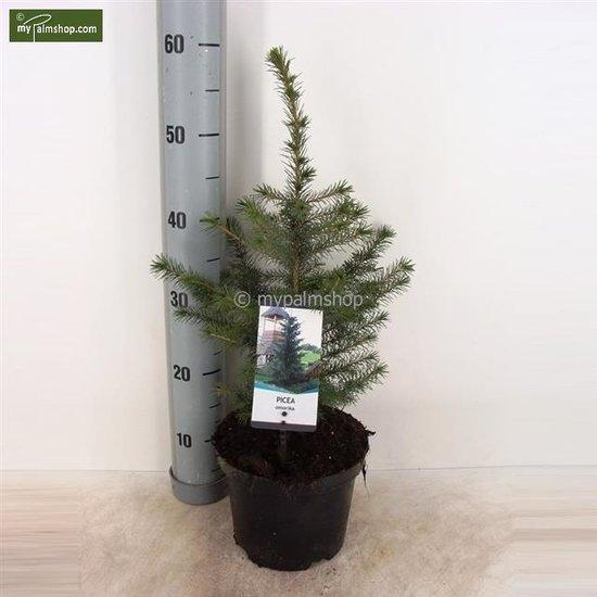 Kerstboom Picea Omorika 3 ltr