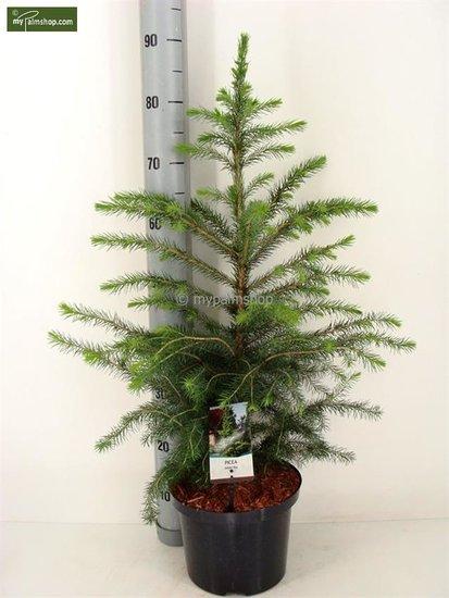 Kerstboom Picea Omorika 5 ltr