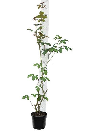 Rosa Shrub pot Ø 21 cm