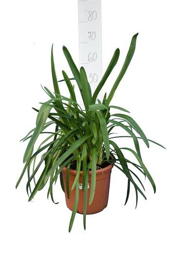Agapanthus Regal Beauty pot Ø 25 cm