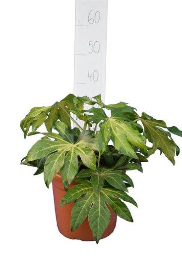 Fatsia japonica Annemie pot Ø 26 cm