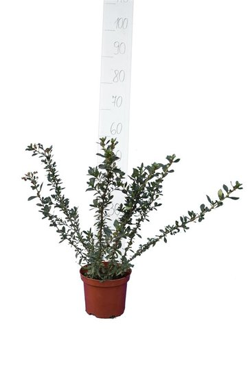 Escallonia rubra Macrantha pot Ø 18 cm