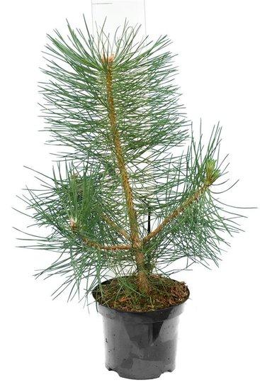 Pinus nigra Nigra pot Ø 19 cm