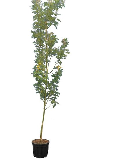 Acacia dealbata pot Ø 33 cm