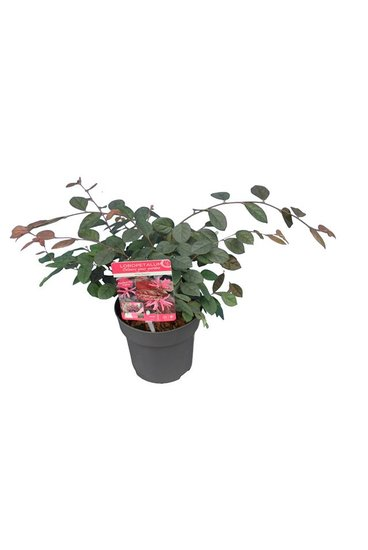 Loropetalum chinense Fire Dance pot Ø 14 cm