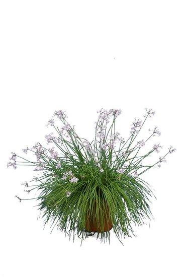 Tulbaghia violacea pot Ø 26 cm
