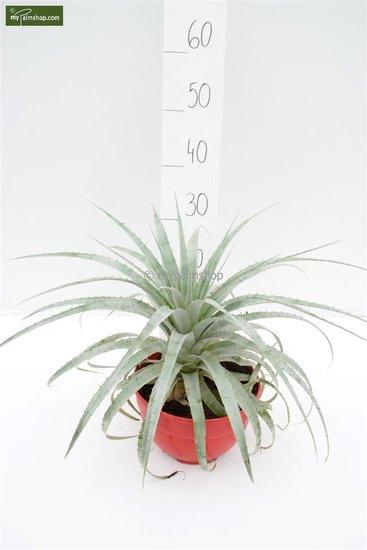 Puya harmsii pot Ø 20 cm