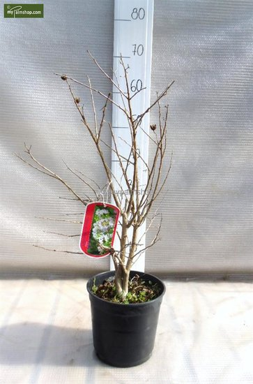 Lagerstroemia indica - Ø 18cm - 3Ltr