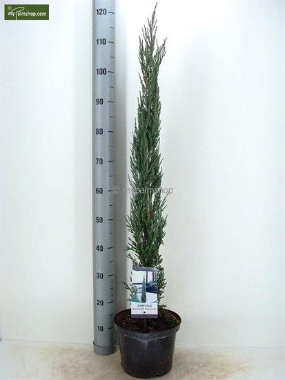 Juniperus scopulorum Blue Arrow pot: Ø 23cm
