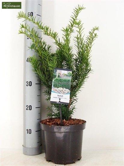 Taxus media Densiformis pot: Ø 19cm