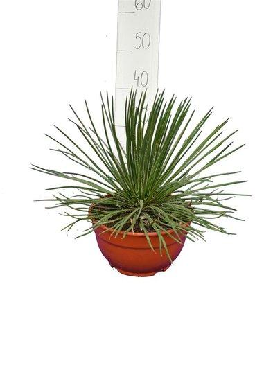 Agave geminiflora pot Ø 20 cm