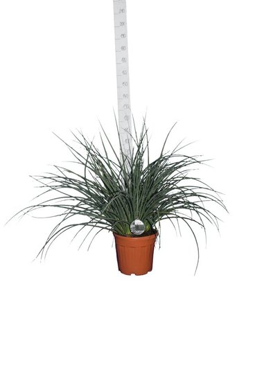 Hesperaloe parviflora pot Ø 36 cm