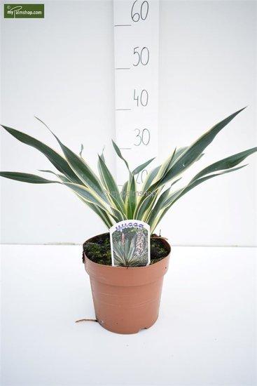 Yucca gloriosa Variegata pot Ø 18 cm