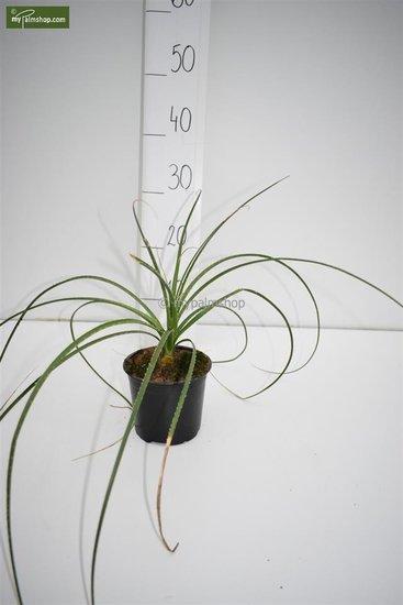 Dasylirion serratifolium pot Ø 13 cm