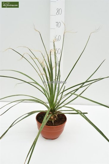 Dasylirion serratifolium pot Ø 20 cm