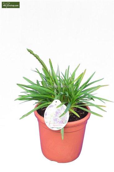 Agapanthus africanus (blauw) Ø 24 cm pot