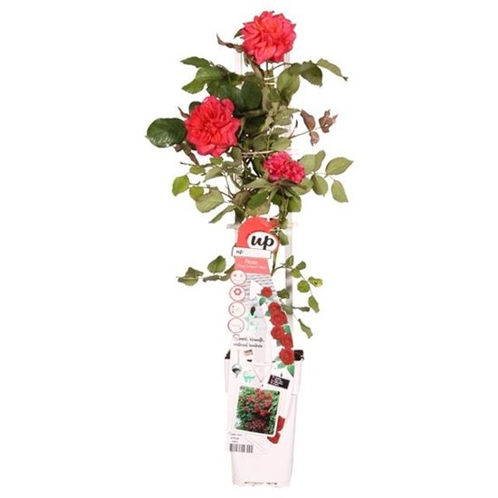 Rosa Crazy in Love climbers Rood 2 ltr