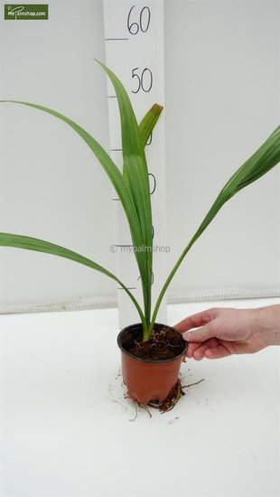 Sabal palmetto pot Ø 13 cm
